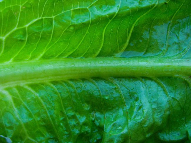 wet lettuce leaf Leaf Vein Lettuce Vein Wet Lettuce Leaf Lettuce Leaf Food And Drink Leaf Backgrounds Full Frame Close-up Plant Green Color