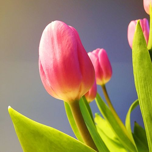 Tulips Tulips 🌷 Tulip Flower Indoors Tulips🌷 Tulip Tulips Plant Flower Flowering Plant Vulnerability  Fragility Close-up Freshness Petal Flower Head Selective Focus Growth Pink Color