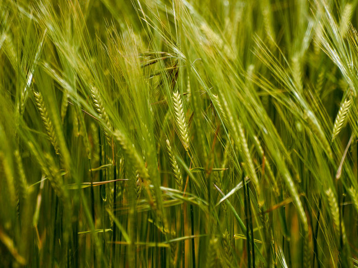 Agriculture EyeEm Best Shots EyeEmNewHere Farmland Green Growth Patterns In Nature Textures Agricultural Field Agricultural Land Agriculture Background Backgrounds Barley Barley Field Beauty In Nature Blade Of Grass Cereal Field Cereal Plant Close-up Crop  Day Ecology Environment Farm Field Flora Full Frame Grass Green Color Growth Land Landscape Nature No People Outdoors Pattern Patterns & Textures Plant Plantation Rural Scene Spring Springtime Texture_collection Wheat
