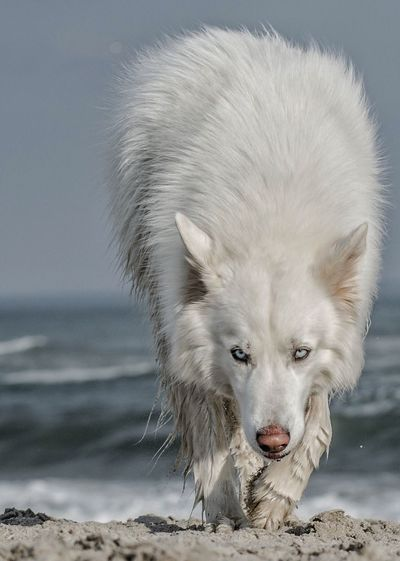 One Animal Mammal Dog Animal Themes Pets No People Domestic Animals Beach Syberianhuskey Husky Large Breed Dog White Fur