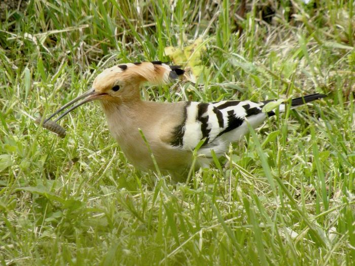 Zoology Birds Of EyeEm  Hoopoe Birdwatching Grass Animal Themes Field One Animal Nature Green Color Growth No People Day Bird Outdoors Mammal Animals In The Wild Bird Photography Beak Animal Wildlife Grass Bird Watching Nature Prey Eating Pet Portraits