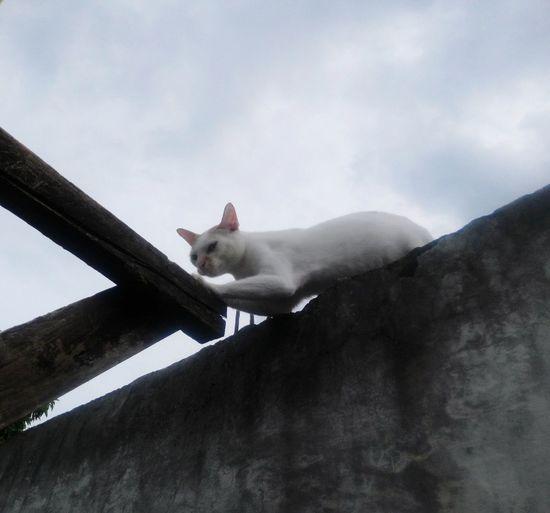 Cloud Cat White