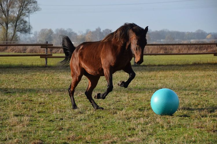 Playing Horse Horse Photography  Horse Photography  Horse Playing Horse Play Sport Competition Ball Horse Grass Sky Paddock Grass Area Stable Pony Ranch Foal Mane Working Animal Grazing Farmland