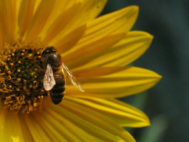 Honey bee at work. Honey Bee Bee Collecting Pollen Yellow Flower Bee And Flower Offset Copy Space Andalucia Rural