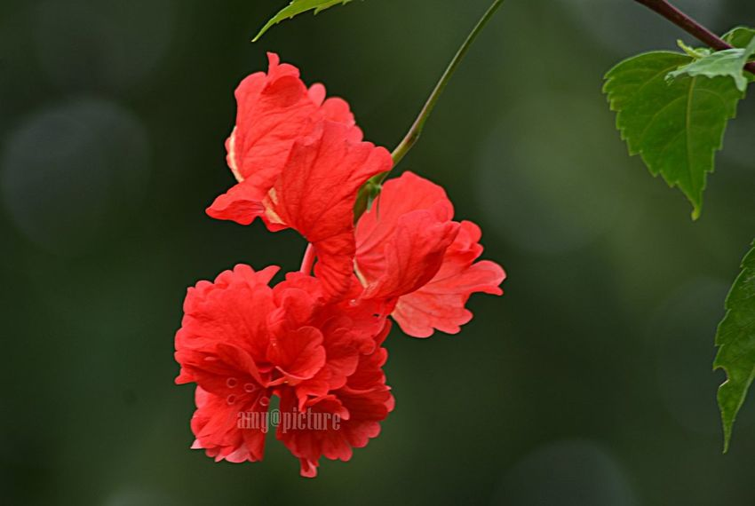 Beauty In Nature Bunga Raya Close-up Flower Flower Head Focus On Foreground In Bloom Leaf Nature Outdoors Red