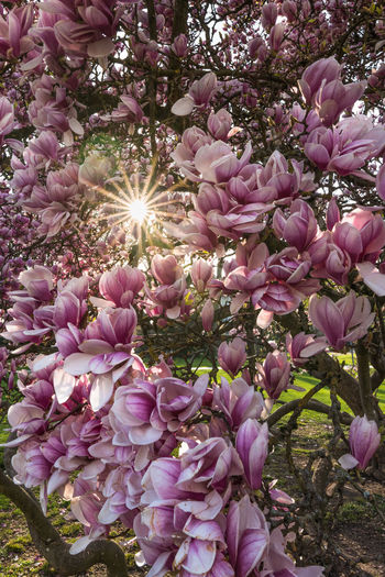 Spring explosion Spring Springtime Flower Blossom Blooming Tree Magnolia Sun Sunlight Flowering Plant Plant Freshness Beauty In Nature Sunbeam Nature Growth Pink Color Purple Outdoors Day Close-up