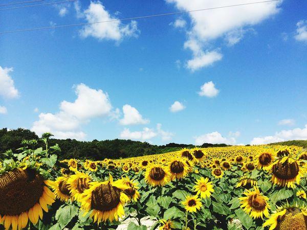 sad sunflowers.. Sunflowers Landscape Blue Sky