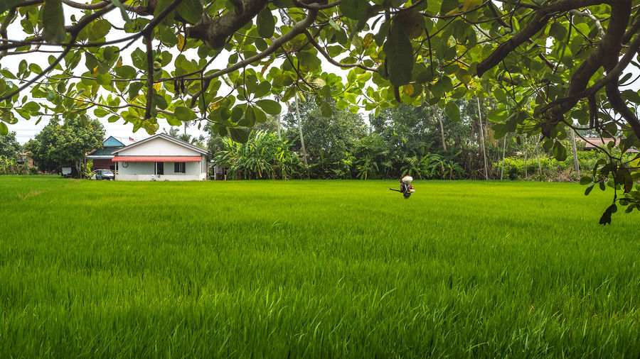 A man is spraying poison on a paddy field to protect against insects and pests Agriculture Paddy Agricultural Land Beauty In Nature Field Grass Green Color Growth House Land Landscape Nature Outdoors Paddy Field Pesticide Pests Agriculture Plant Real People Scenics - Nature Tranquil Scene Tranquility Tree