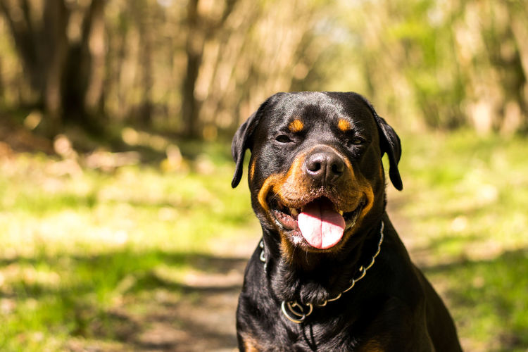 Animal Themes Black Color Close-up Day Dog Domestic Animals Focus On Foreground Grass Mammal Nature No People One Animal Outdoors Pets Portrait Rottweiler Sunlight