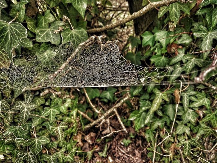 Beauty In Nature Green Color Tranquility Spider Web Spider Webs Spiderwebs Spider Web Ivy Ivy Covered Ivy Outdoors Frosty Frozen Web Frozen Spider Web Hdr_Collection Green Green Green!
