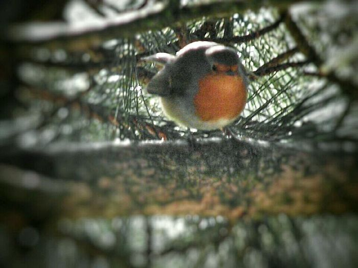 Birds🐦⛅ Robin Take At Daisy Nook National Park Manchester Obese EyeEm Birds From My Point Of View EyeEm Best Shots