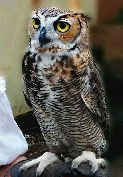 Owl,bird of prey