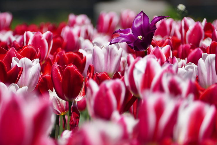 Above The Rest ♡ Beauty In Nature Close-up Day Flower Flower Arrangement Flower Head Flowering Plant Fragility Freshness Growth Inflorescence Nature No People Outdoors Petal Pink Color Plant Red Selective Focus Tulip uniqueness Vulnerability