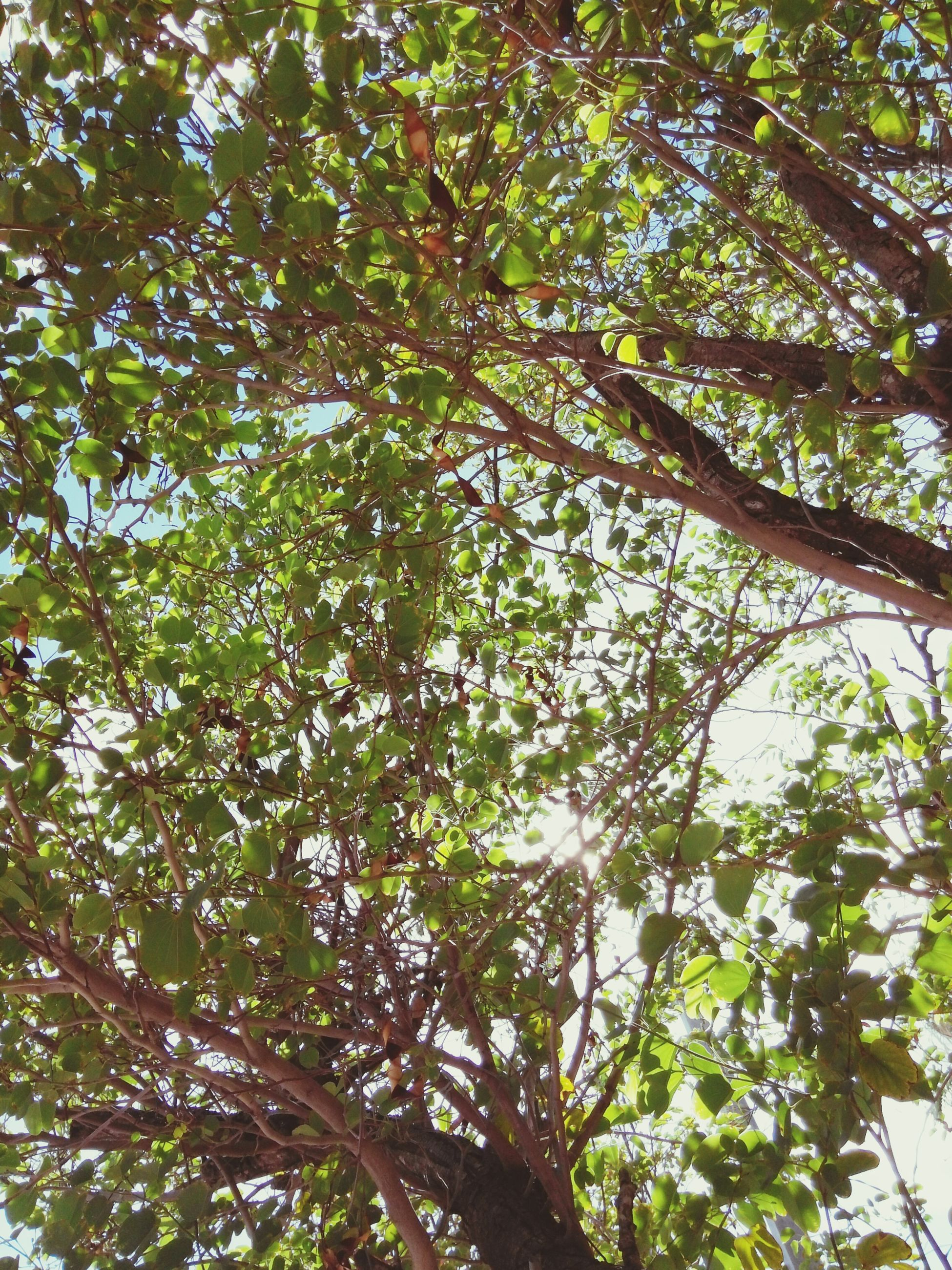 tree, branch, low angle view, growth, green color, nature, tranquility, leaf, beauty in nature, lush foliage, full frame, backgrounds, day, forest, tree trunk, outdoors, no people, sunlight, green, sky