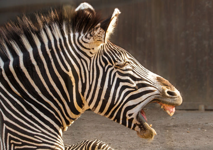 The Grévy's zebra, also known as the imperial zebra, is the largest extant wild equid and the largest and most threatened of the three species of zebra Africa Animal Themes Animals Beauty In Nature Equus Grevyi Laughing Zebra Mammal Natural Pattern Nature Wildlife Photography Zebra
