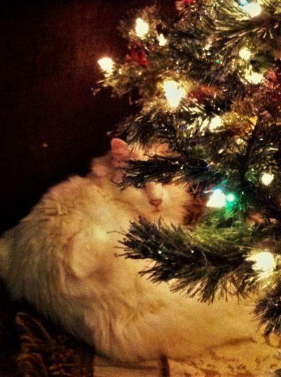 Cats Catsofeyeem Christmas Lights Christmascats ChristmasTrees Illuminated Low Angle View Thisweekoneyeem Coloroflife Augustphotochallenge EyeemPhotos Instagram Pics