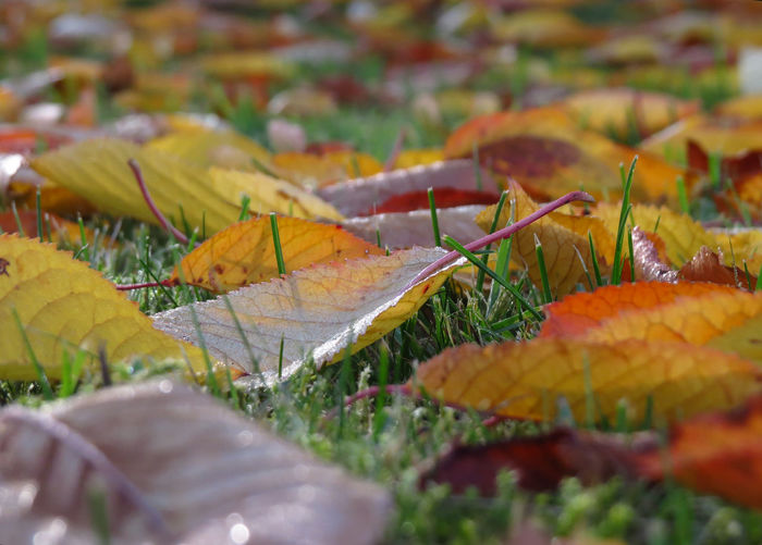 Autumn Leaf Plant Part Selective Focus Change Leaves No People Close-up Nature Plant Beauty In Nature Field Outdoors Vulnerability  Fragility Falling Maple Leaf Autumn Collection Surface Level Fall Natural Condition Dew Dew Drops Morning Light Fall Leaves