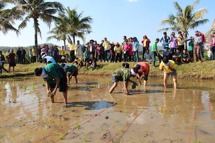 Crowd looking at men planting rice plants in paddy field during sunny day