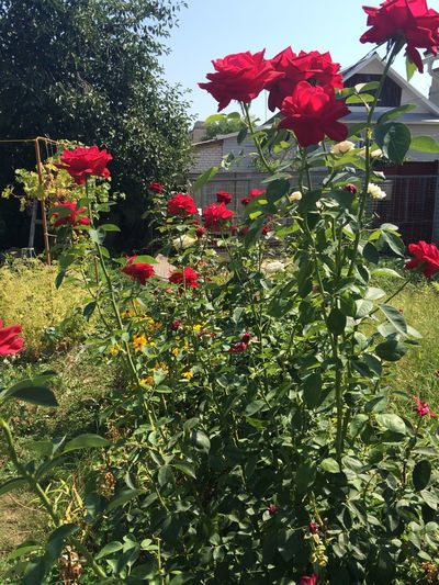 Ros 🌹 Roses Garten :)