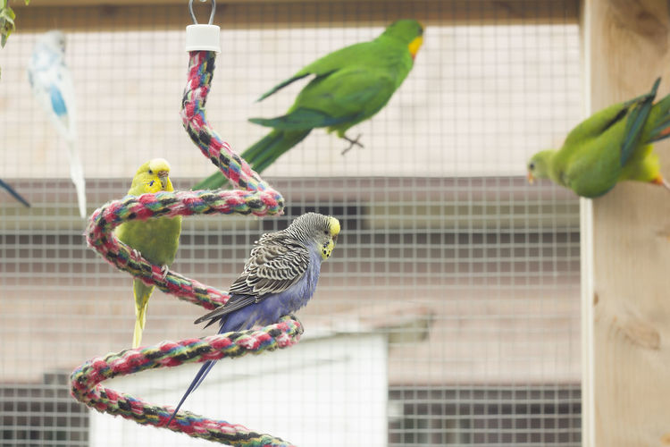 Animal Themes Animal Wildlife Animals In Captivity Bird Birdcage Budgerigar Cage Close-up Day Nature No People Outdoors Parrot Perching Pets