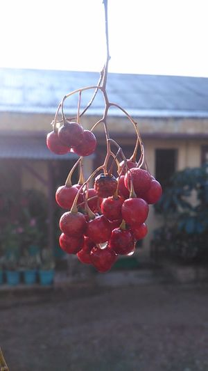 After The Rain Something Red Home In The Background Sincechildhood Cherries Memories Blurry Background Beaming Rays Waterdrops Pearlsofwater Somethingcherry Kohima Nagaland Northeastindia EyeEm Home Eyeem Closeup