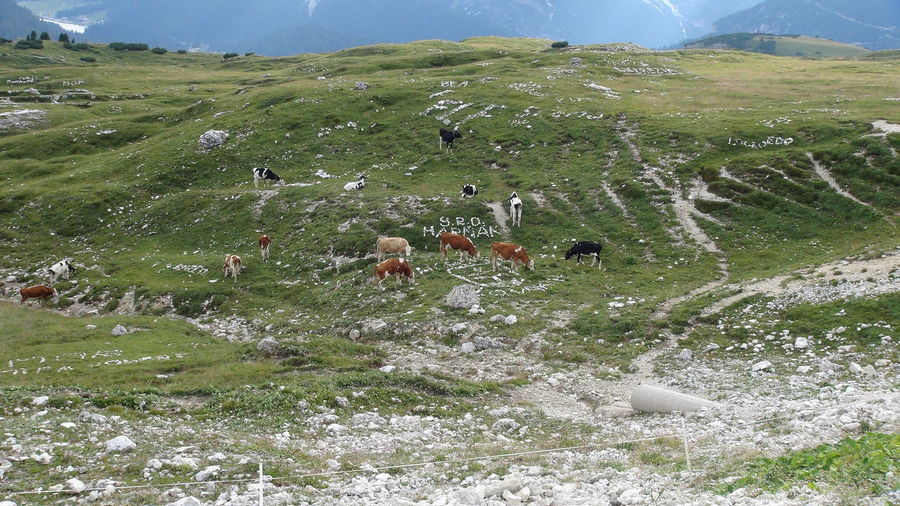 alpes Cow