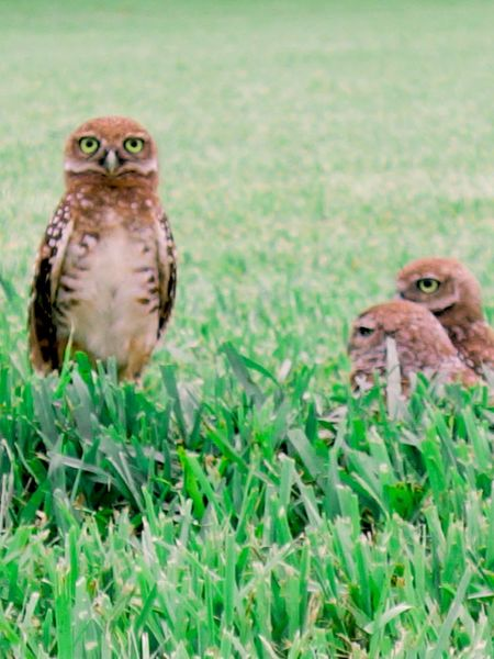 Baby Birds Owls Screech Owl Animal Themes Animals In The Wild Young Bird Green Color Animal Wildlife Grass No People Bird Of Prey Bird Field Day Outdoors Nature One Animal Owl Close-up Perching Animals In The Wild