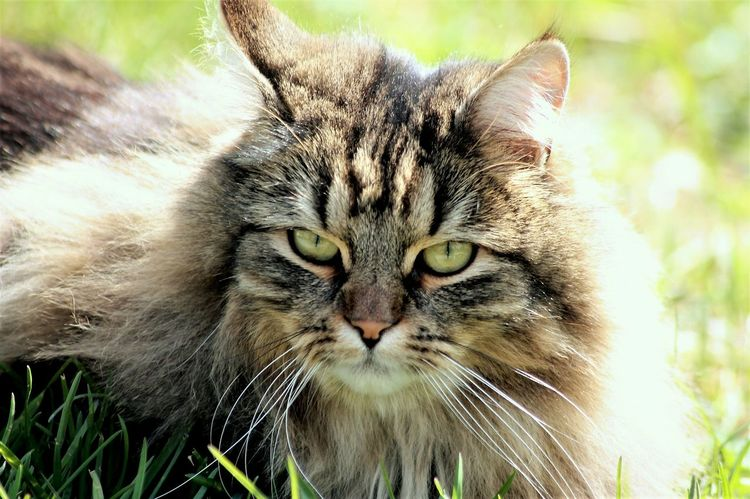 Norwegian Forest Cat Cats Of EyeEm Sunlight Domestic Cat Pets Domestic Animals Animal Themes Feline One Animal Looking At Camera Portrait No People Nature Grass Outdoors Day Close-up Premium Collection Premium The Portraitist - 2017 EyeEm Awards