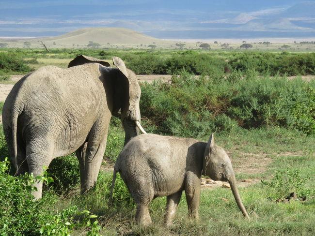 Young Animal Safari Animals Outdoors Nature Herbivorous Beauty In Nature Animals In The Wild Animal Wildlife Elephants Safari Kenya Africa African Safari Mount Kilimanjaro