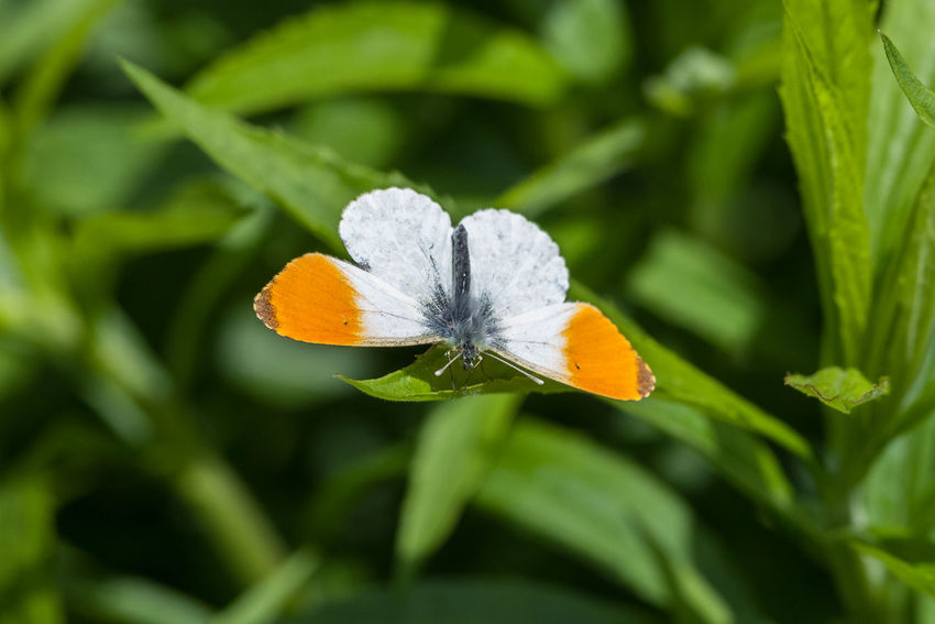 Aurorafalter Anthocharis Animal Animal Themes Animal Wildlife Animals Animals In The Wild Anthocharis Cardamines Aurorafalter Beauty In Nature Butterfly Insect Insect Photography Insects  Lepidoptera Orange Tip Orange Tip Butterfly Pieridae Pieridae Family Pterygota