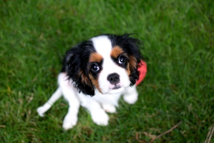puppy dog eyes. The OO Mission Dogs Looking Up Puppy Focus On Foreground Shallow Focus Blurred Background Bokeh Puppy Love Black And White Dog King Charles Cavalier Eyes