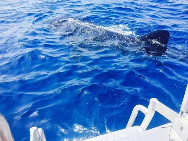 Whale Shark Great Whale Isla Mujeres
