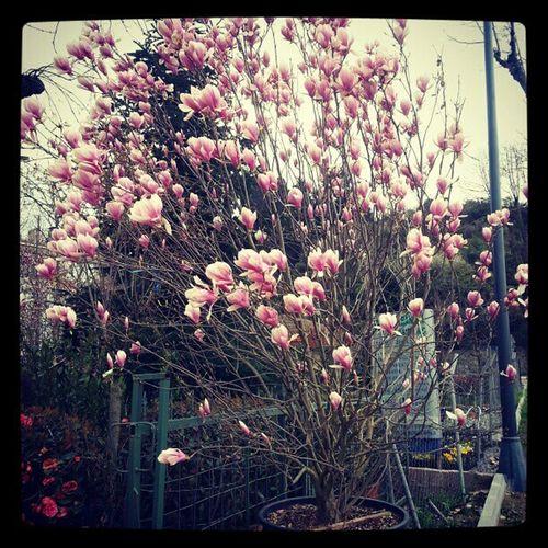 Manolya Magnolia Magnolia_Blossom Trees