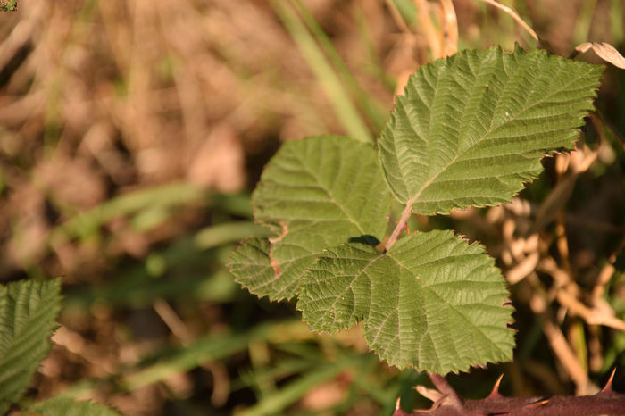 Blackberry leaves, Rubus Rubus Beauty In Nature Blackberry Botany Close-up Day Focus On Foreground Freshness Green Color Growth Land Leaf Leaf Vein Leaves Nature No People Outdoors Plant Plant Part Selective Focus Sunlight Tranquility