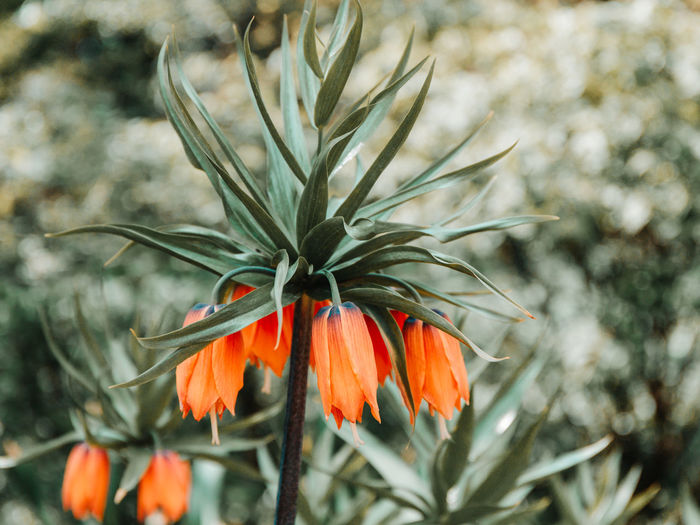 Imperial Crown Fritillary Fritillaria Imperialis Plant Kaisers Flower Nature Lily Garden Flora Botanic Background Bloom Blooming Green Orange Blossom Botany Spring Season  Gardening Beautiful Closeup Yellow Natural Red Park Petal Macro Outdoor Flowering Floral Sunny Day Stem Vegetation Flowering Plant Beauty In Nature Growth Fragility Orange Color Vulnerability  Freshness Close-up Focus On Foreground No People Flower Head Inflorescence Outdoors