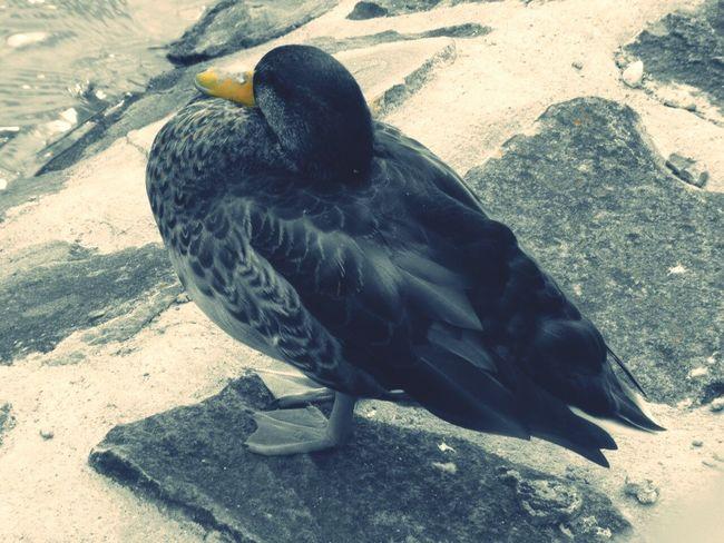 Auf wen wartet diese Ente wohl? Ente Warten...