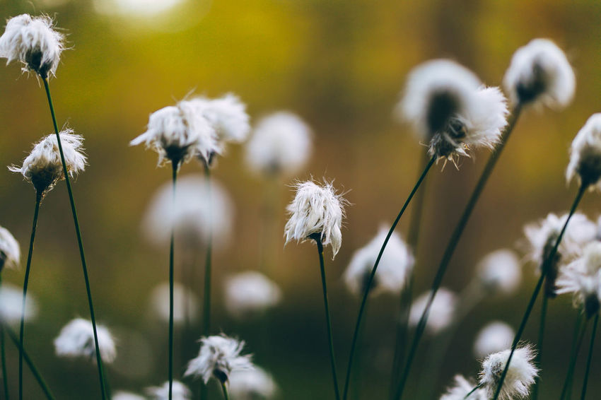 Beauty In Nature Close-up Day Flower Flower Head Focus On Foreground Fragility Freshness Growth Nature No People Outdoors Plant Softness White Color