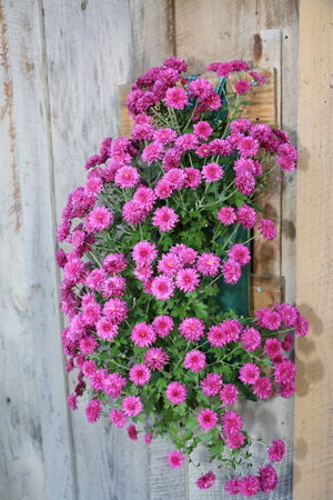 Bright Pink Colour Flower Flower Head Window Box Pink Color Purple Plant Architecture Close-up In Bloom Flowering Plant Blooming