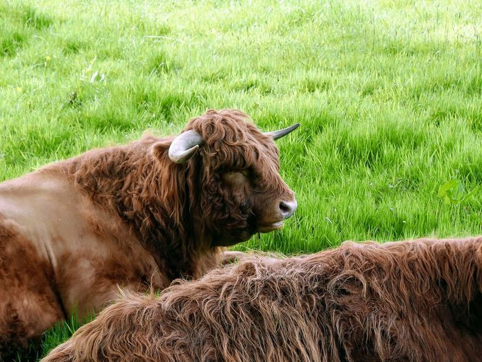 Highland cows in a field