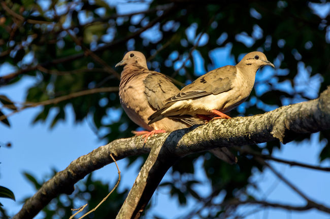 Bird Photography Couple Nature Photography Animal Themes Animal Wildlife Animals In The Wild Ave Beauty In Nature Beauty In Nature Bird Branch Close-up Day Focus On Foreground Low Angle View Nature No People Outdoors Perching Pomba Pomba Rola Sky Tree