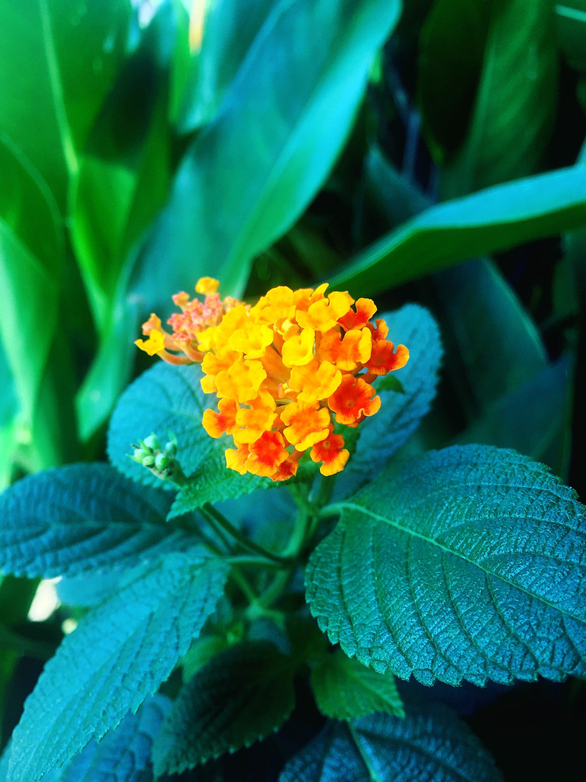 flower, fragility, freshness, beauty in nature, nature, petal, blooming, growth, flower head, plant, focus on foreground, leaf, green color, close-up, lantana camara, no people, day, zinnia, outdoors