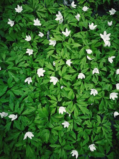 Summer Easter Flower Periwinkle Flower Head Leaf High Angle View Blooming Plant Close-up Green Color