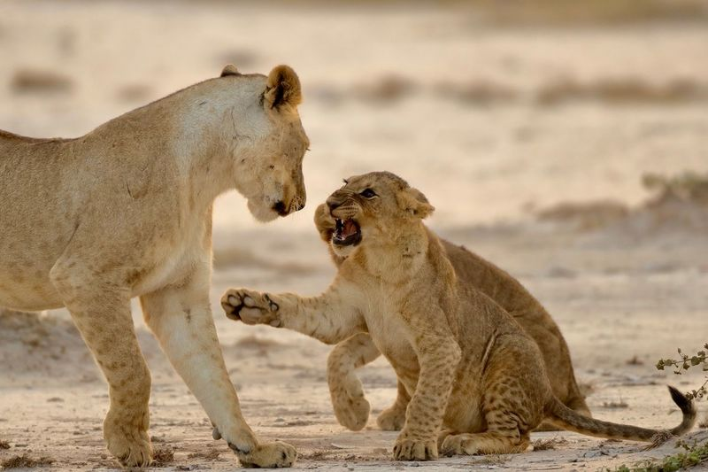 Lioness with playful cubs on ground