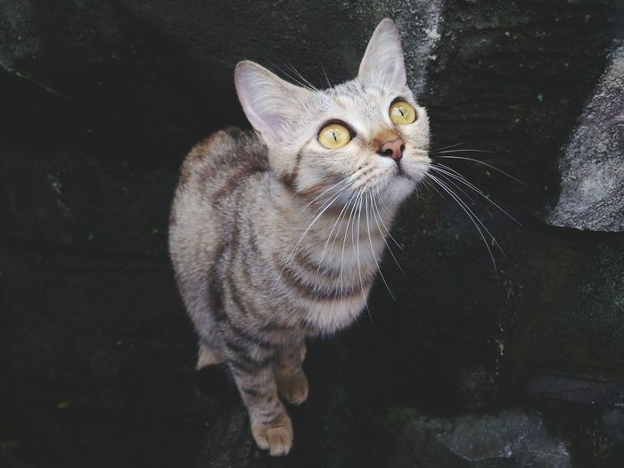 EyeEm Selects Domestic Cat Pets One Animal Domestic Animals Mammal Portrait Looking At Camera Feline Animal Themes Day