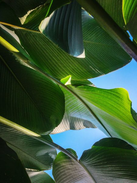Leaf Nature Growth Green Color No People Banana Tree Beauty In Nature Low Angle View Plant Tree Outdoors Close-up Backgrounds Freshness Palm Tree Day Frond IPhoneography Iphonepic Iphonephotography IPhone Photography Iphonography IPhoneographer