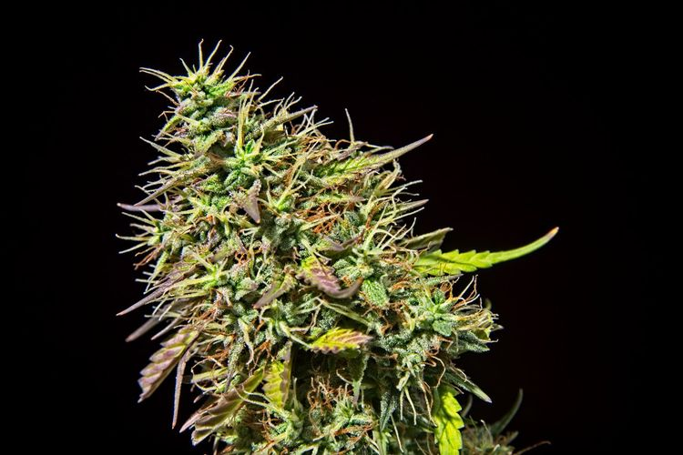 Top bud of green mature cannabis female plant with leaves and lot of trichomes. Cannabis Drug Flowering Growth Indica Legalize Medicine Natural Nature Plant Recreation  Sacred Plant Ganja Greenery Healthy Eating Herbal Tea Medical Medical Cannabis Pot Potted Plant Symbol Tetrahydrocannabinol Thc Trichomes