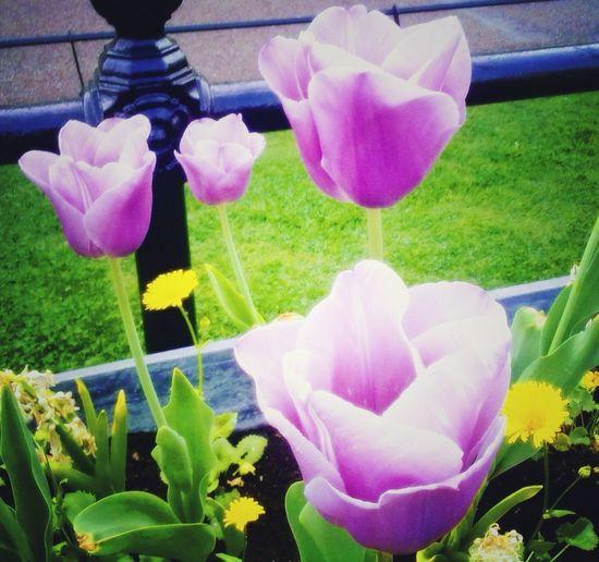 Papoulas #byandrearochael Flower Petal Nature Freshness Beauty In Nature Plant Fragility Tulip