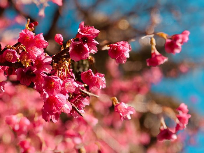 Pink cherry blossoms in Spring EyeEm Selects Flower Plant Flowering Plant Pink Color Beauty In Nature Growth Fragility No People Freshness Close-up Flower Head Vulnerability  Focus On Foreground Petal Day Nature Inflorescence Sunlight Selective Focus Outdoors