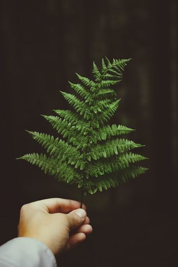 Close-up of hand holding pine leaves