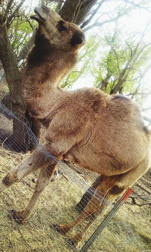 Camel Life Camel Diesel